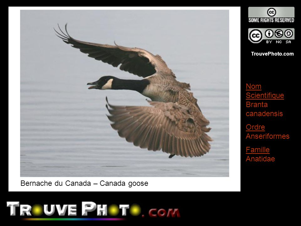 TrouvePhoto.com Oie à tête barrée – Bar-headed Goose Nom Scientifique Anser indicus Ordre Anseriformes Famille Anatidae