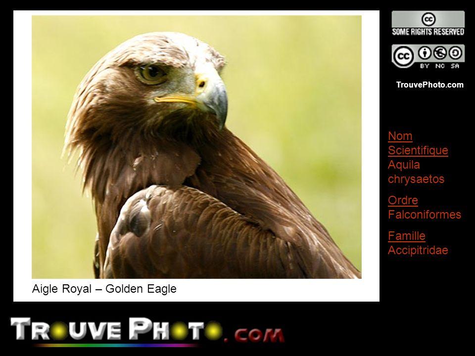TrouvePhoto.com Aigle Royal – Golden Eagle Nom Scientifique Aquila chrysaetos Ordre Falconiformes Famille Accipitridae