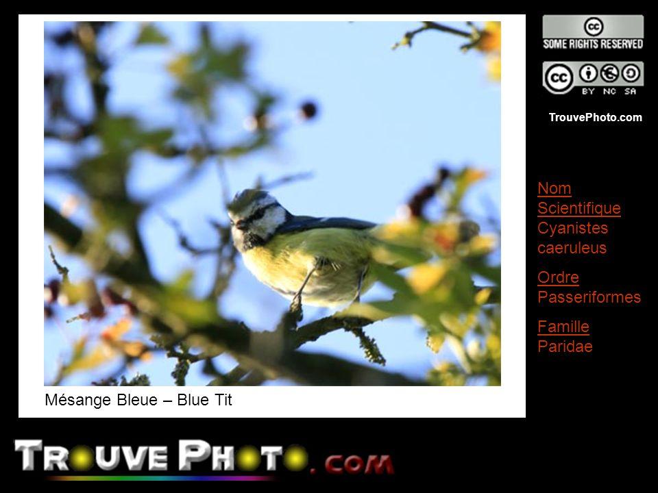 TrouvePhoto.com Mésange Bleue – Blue Tit Nom Scientifique Cyanistes caeruleus Ordre Passeriformes Famille Paridae
