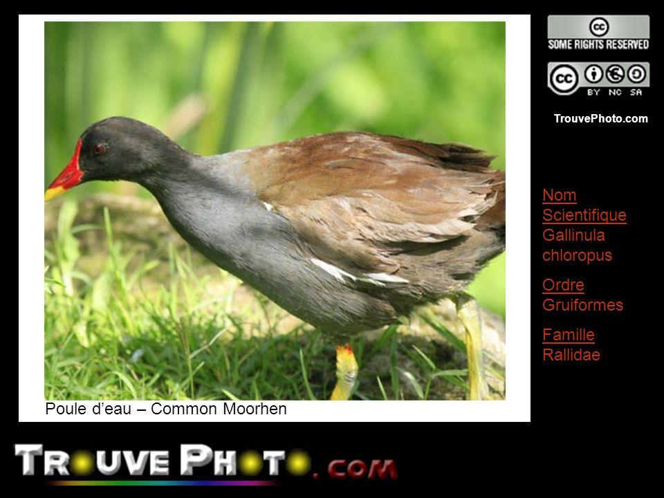 TrouvePhoto.com Poule deau – Common Moorhen Nom Scientifique Gallinula chloropus Ordre Gruiformes Famille Rallidae
