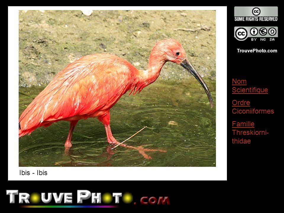 TrouvePhoto.com Ibis - Ibis Nom Scientifique Ordre Ciconiiformes Famille Threskiorni- thidae