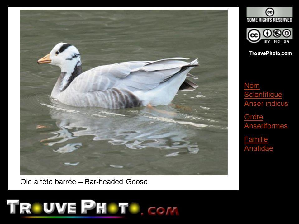 TrouvePhoto.com Oie à tête barrée – Bar-headed Goose Nom Scientifique Anser indicus Ordre Anseriformes Famille Anatidae