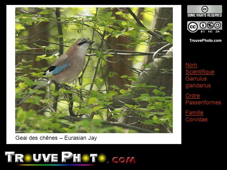 TrouvePhoto.com Geai des chênes – Eurasian Jay Nom Scientifique Garrulus glandarius Ordre Passeriformes Famille Corvidae