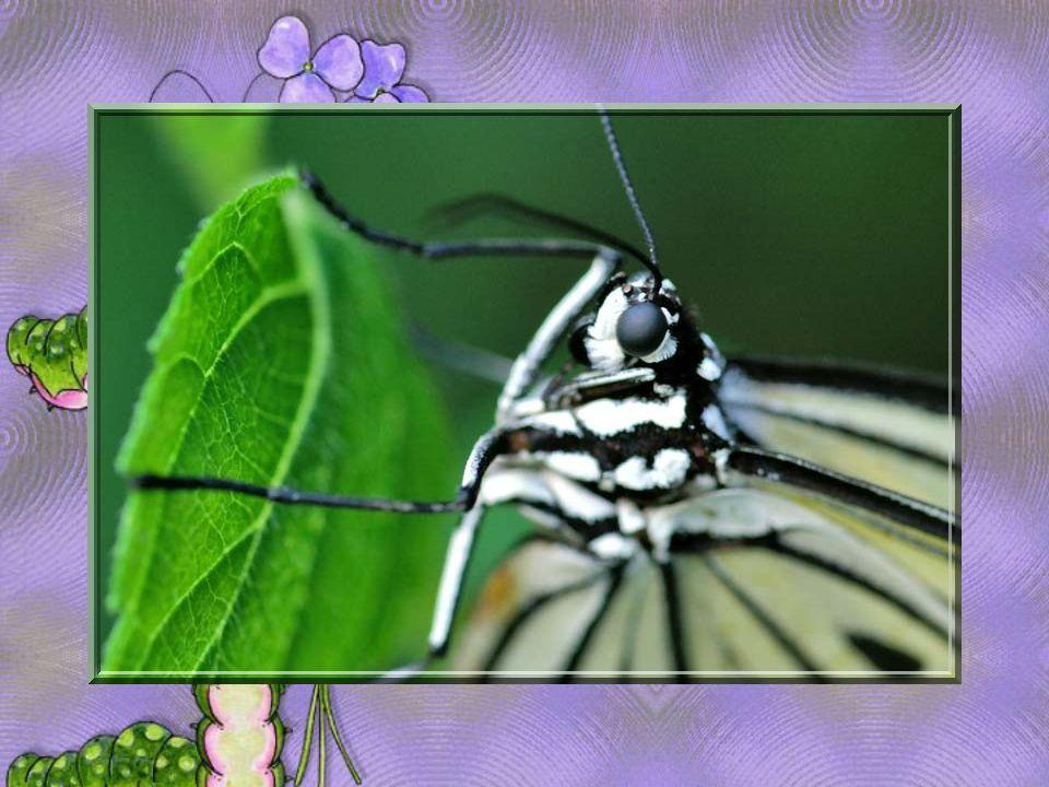Ne brise jamais les ailes des papillons Car ce sont elles qui te mènent au paradis