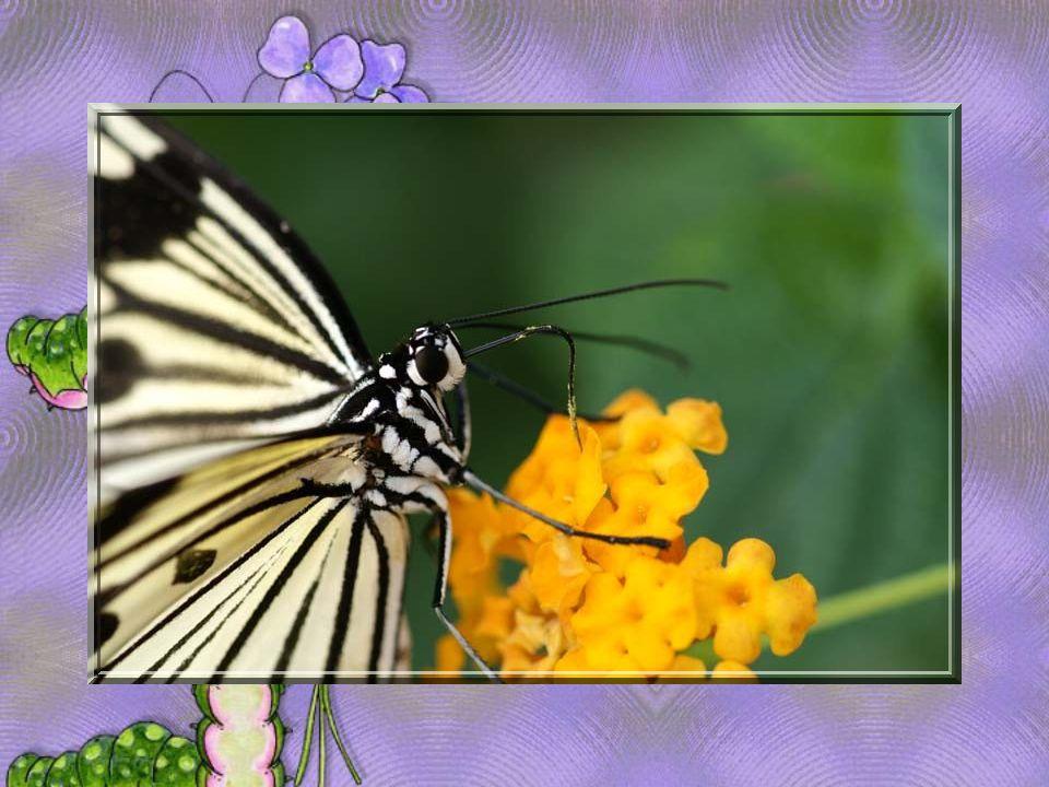 Symboles de légèreté, les Papillons sont égalemen t des esprits voyageurs qui annoncent une visite.