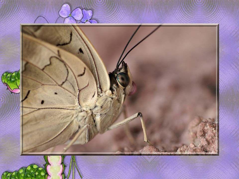 Le papillon jaune est un signe de froid et Le papillon blanc de beau temps.