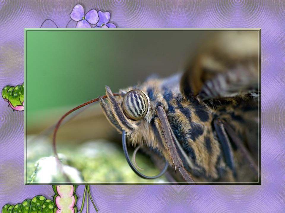 Un papillon: Une pensée qui senvole.