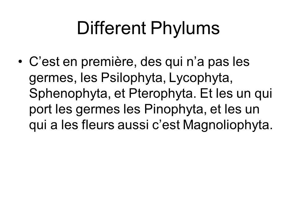 Different Phylums Cest en première, des qui na pas les germes, les Psilophyta, Lycophyta, Sphenophyta, et Pterophyta. Et les un qui port les germes le