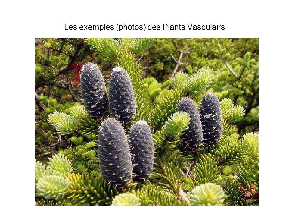 Les exemples (photos) des Plants Vasculairs