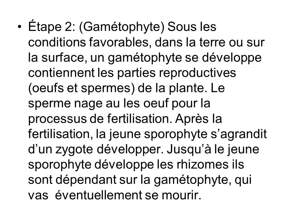 Étape 2: (Gamétophyte) Sous les conditions favorables, dans la terre ou sur la surface, un gamétophyte se développe contiennent les parties reproducti