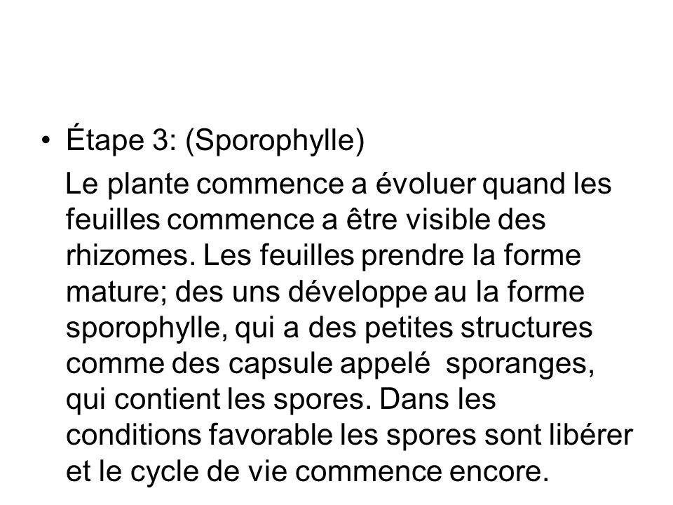 Étape 3: (Sporophylle) Le plante commence a évoluer quand les feuilles commence a être visible des rhizomes. Les feuilles prendre la forme mature; des