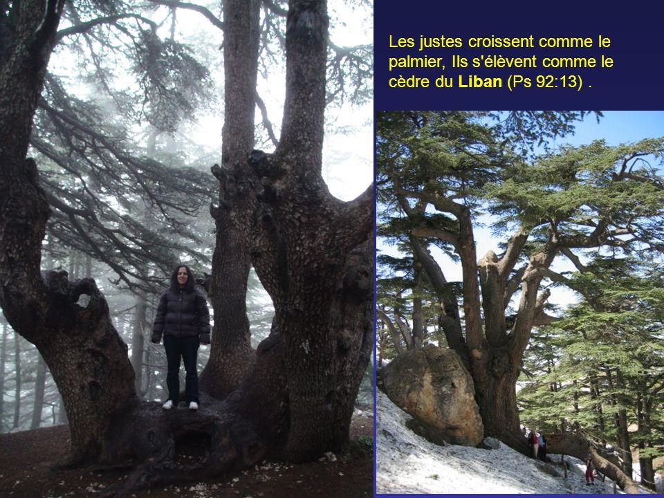 Les justes croissent comme le palmier, Ils s élèvent comme le cèdre du Liban (Ps 92:13).