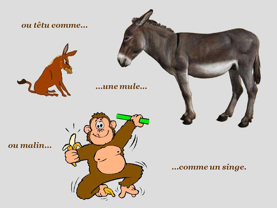 ou têtu comme… …comme un singe. …une mule… ou malin…