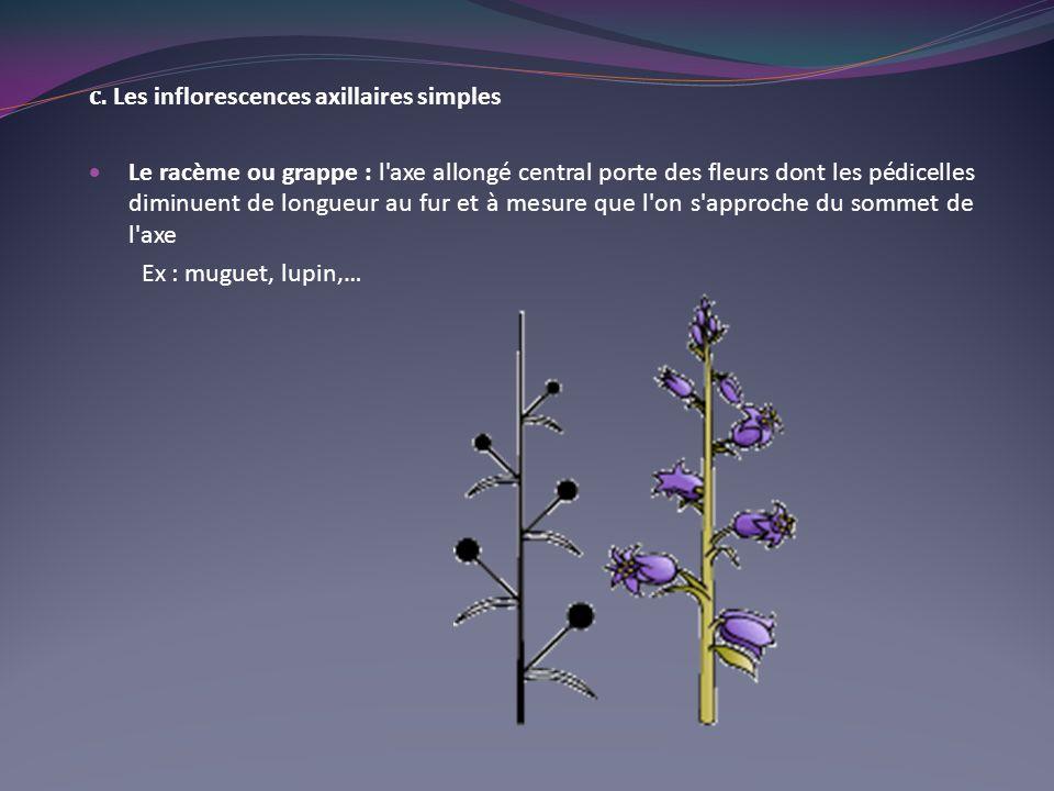 c. Les inflorescences axillaires simples Le racème ou grappe : l'axe allongé central porte des fleurs dont les pédicelles diminuent de longueur au fur