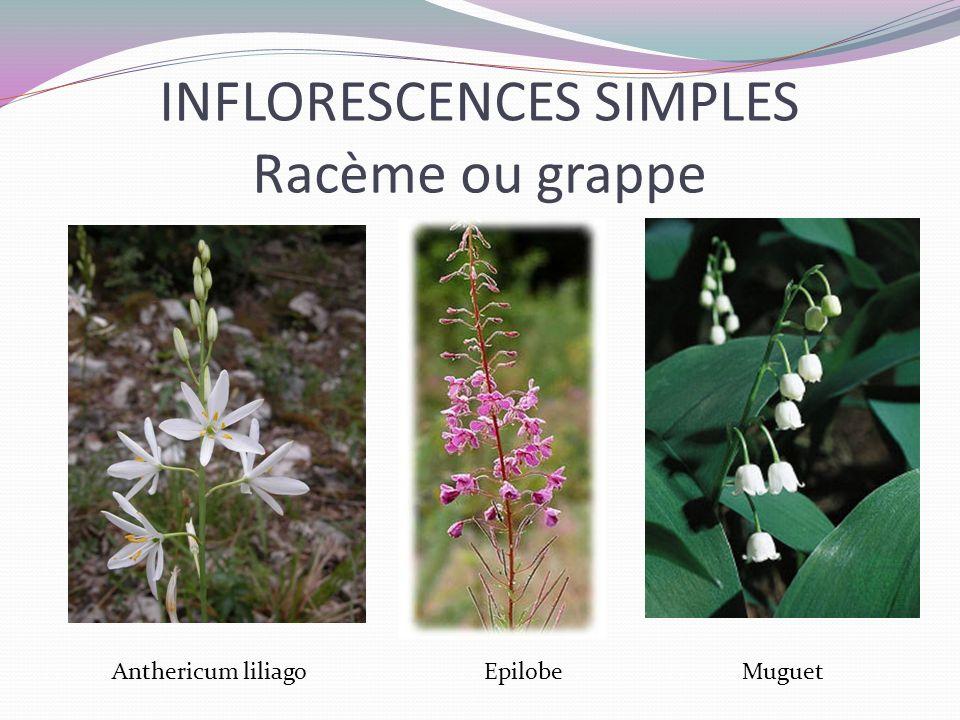 INFLORESCENCES SIMPLES Racème ou grappe Anthericum liliago EpilobeMuguet
