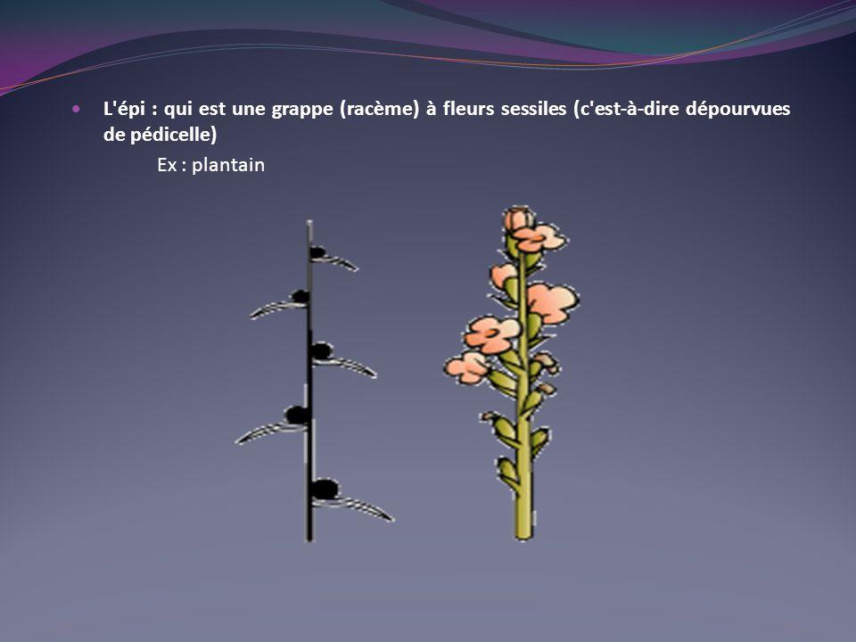 L'épi : qui est une grappe (racème) à fleurs sessiles (c'est-à-dire dépourvues de pédicelle) Ex : plantain