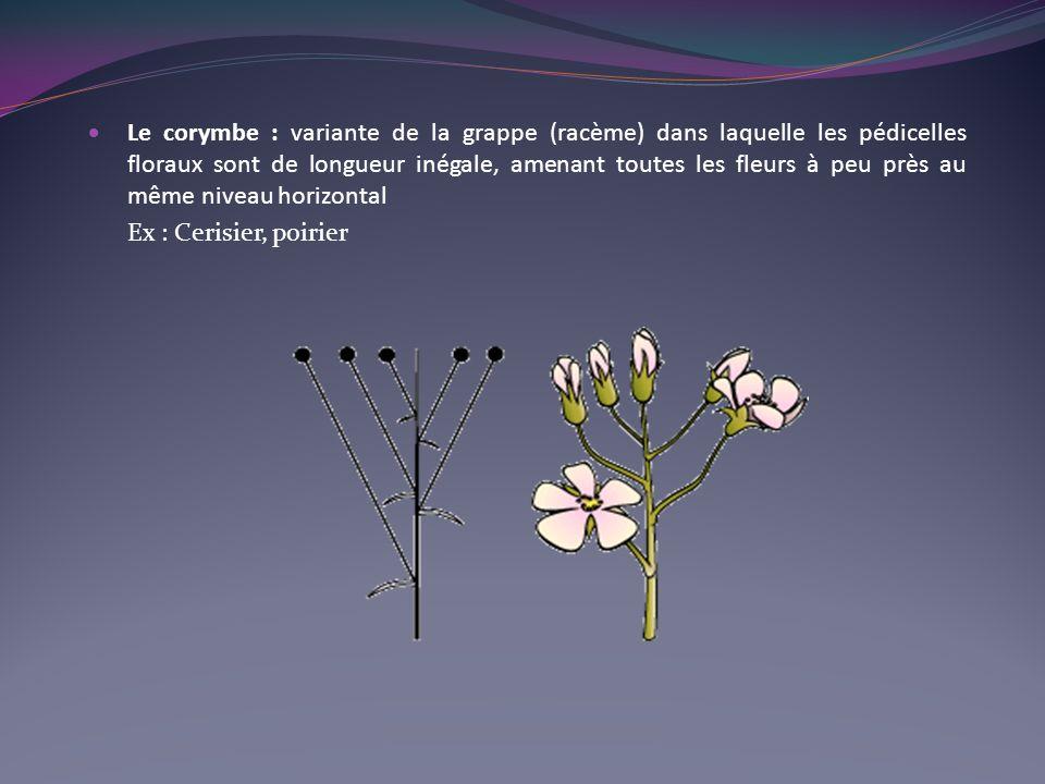 Le corymbe : variante de la grappe (racème) dans laquelle les pédicelles floraux sont de longueur inégale, amenant toutes les fleurs à peu près au même niveau horizontal Ex : Cerisier, poirier