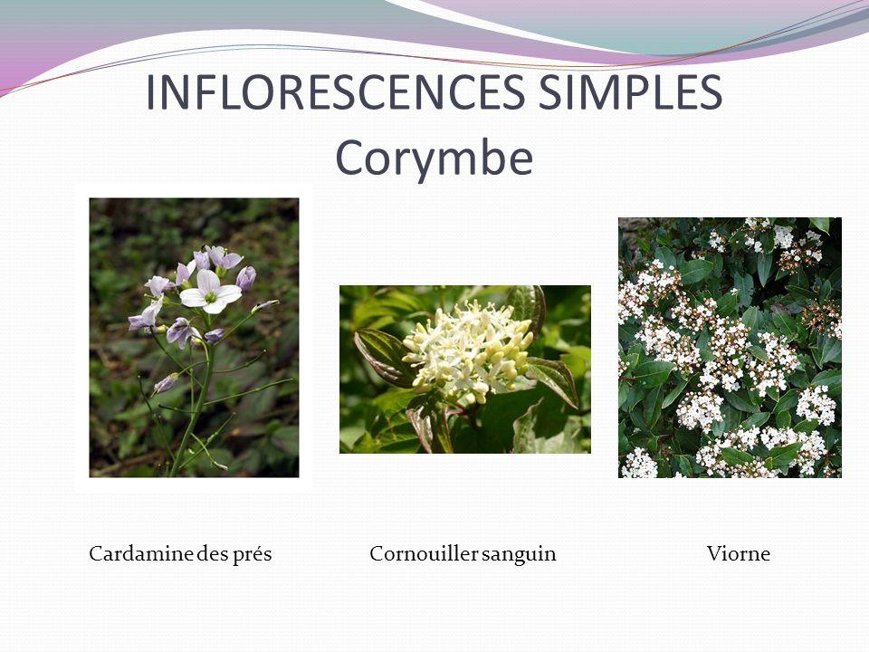 INFLORESCENCES SIMPLES Corymbe Cardamine des prés Cornouiller sanguin Viorne