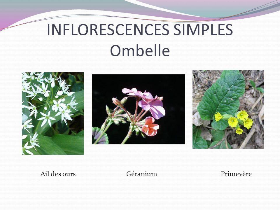 INFLORESCENCES SIMPLES Ombelle Ail des ours Géranium Primevère