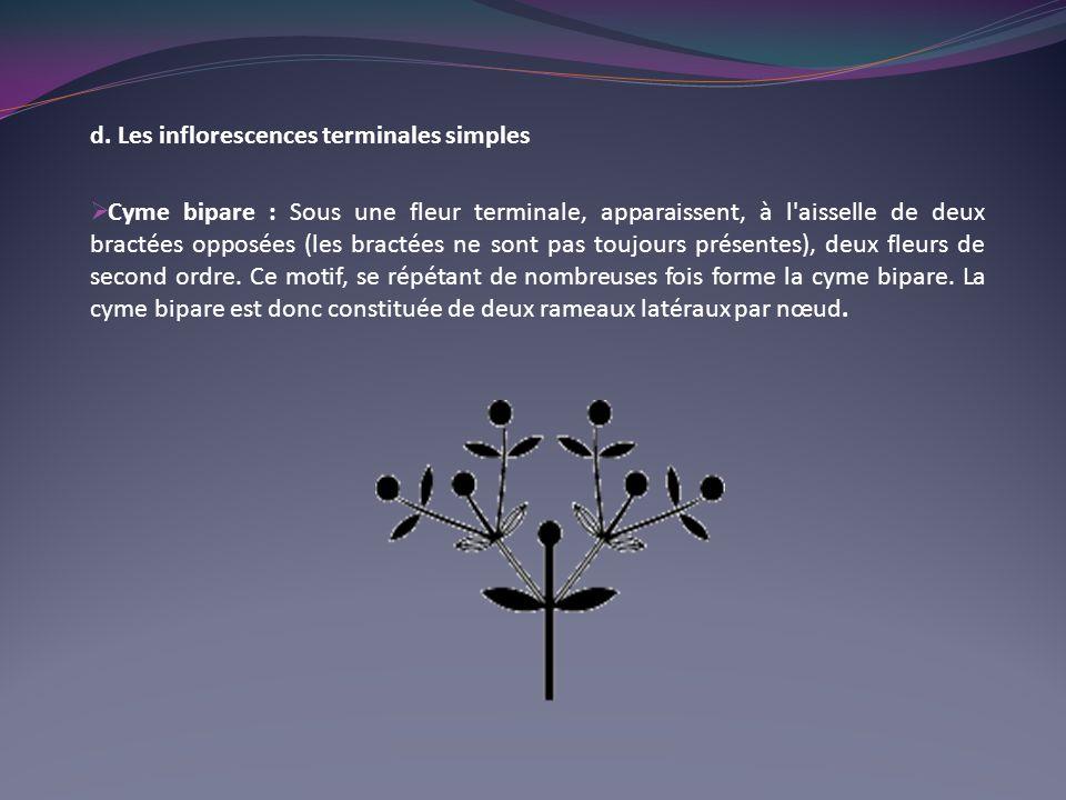 d. Les inflorescences terminales simples Cyme bipare : Sous une fleur terminale, apparaissent, à l'aisselle de deux bractées opposées (les bractées ne