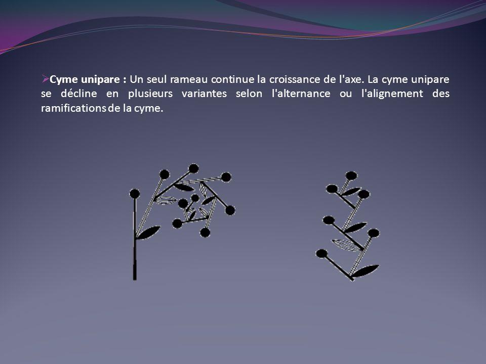 Cyme unipare : Un seul rameau continue la croissance de l'axe. La cyme unipare se décline en plusieurs variantes selon l'alternance ou l'alignement de