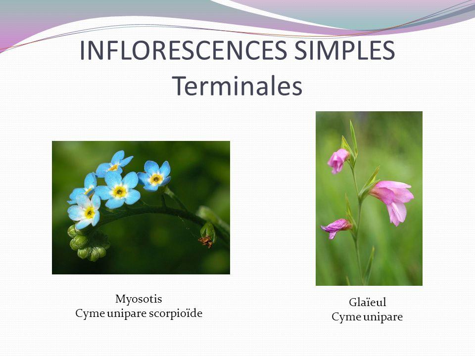 INFLORESCENCES SIMPLES Terminales Myosotis Cyme unipare scorpioïde Glaïeul Cyme unipare