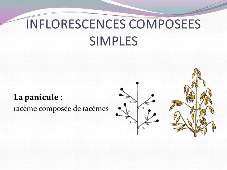 INFLORESCENCES COMPOSEES SIMPLES La panicule : racème composée de racèmes