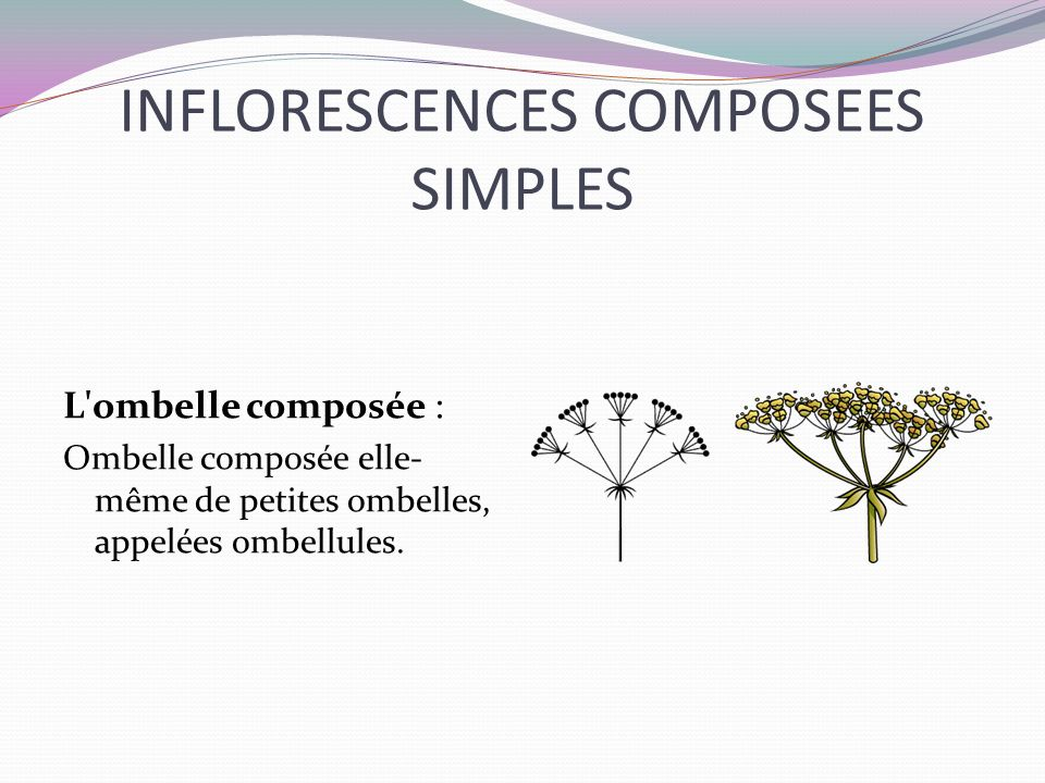 INFLORESCENCES COMPOSEES SIMPLES L'ombelle composée : Ombelle composée elle- même de petites ombelles, appelées ombellules.