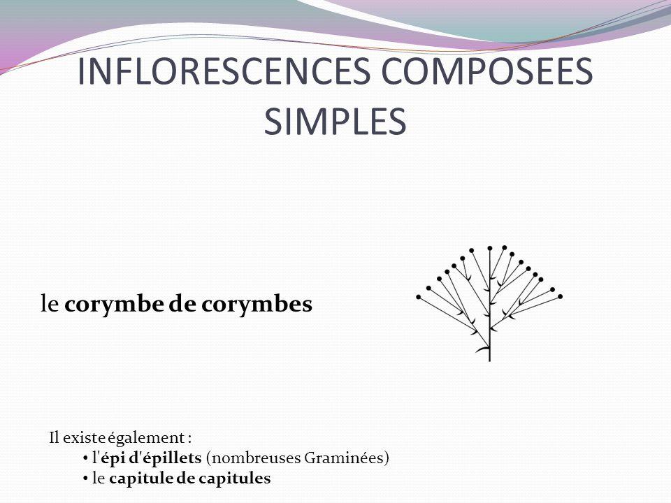 INFLORESCENCES COMPOSEES SIMPLES le corymbe de corymbes Il existe également : l'épi d'épillets (nombreuses Graminées) le capitule de capitules