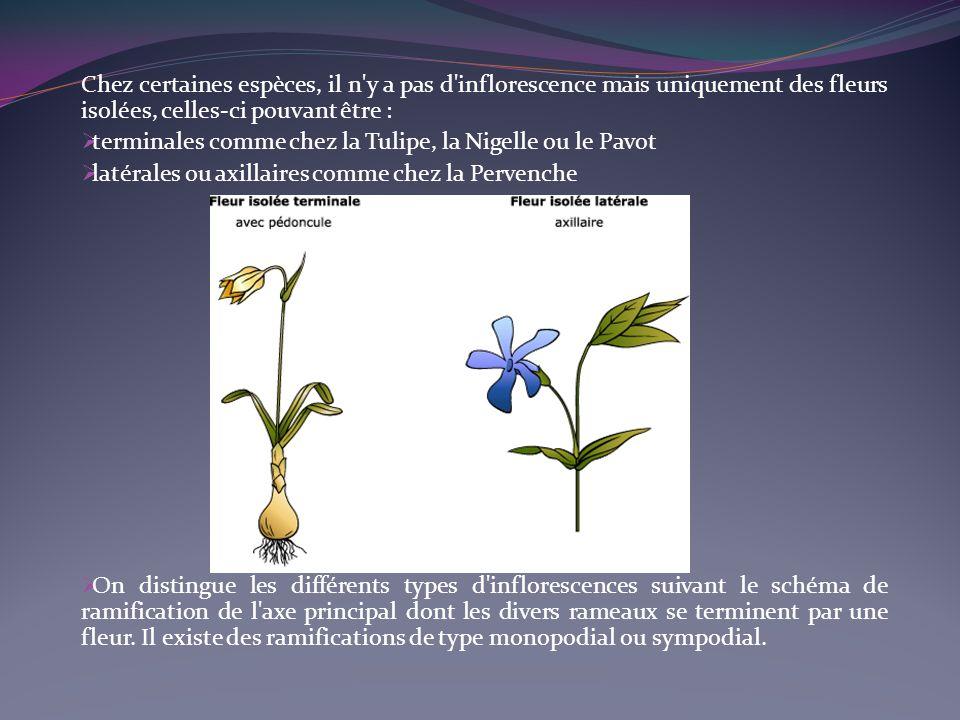 Chez certaines espèces, il n'y a pas d'inflorescence mais uniquement des fleurs isolées, celles-ci pouvant être : terminales comme chez la Tulipe, la