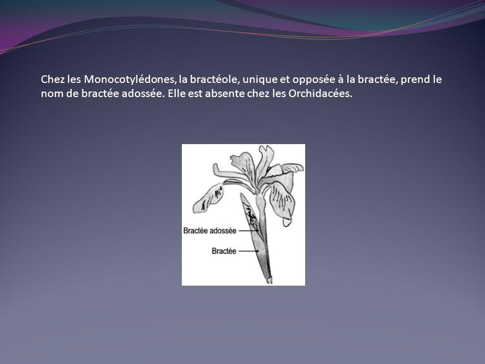 Chez les Monocotylédones, la bractéole, unique et opposée à la bractée, prend le nom de bractée adossée. Elle est absente chez les Orchidacées.