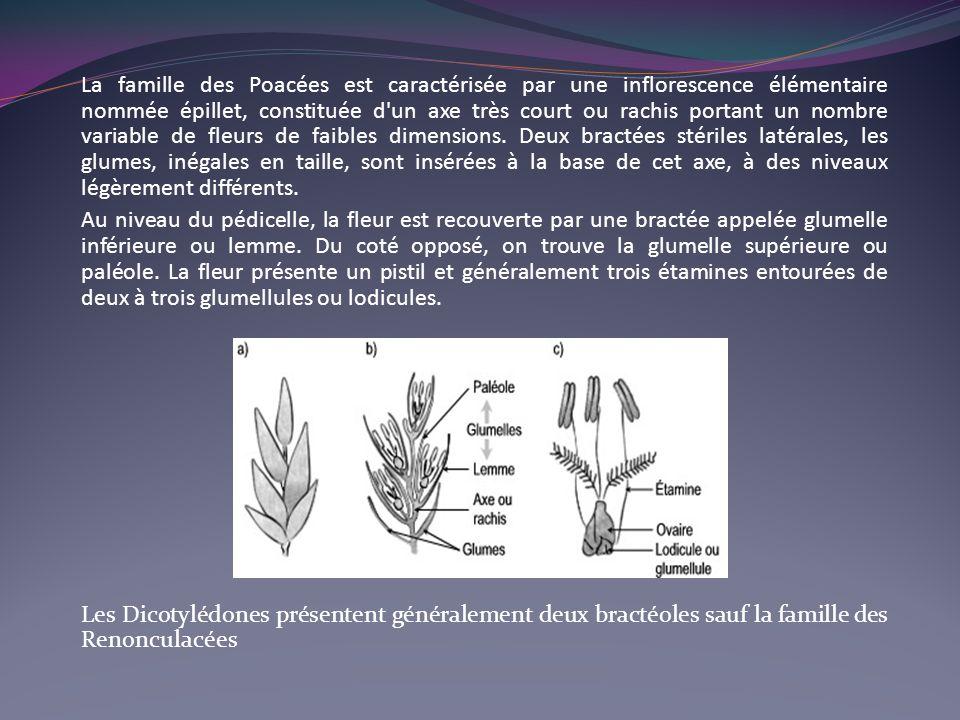 La famille des Poacées est caractérisée par une inflorescence élémentaire nommée épillet, constituée d'un axe très court ou rachis portant un nombre v