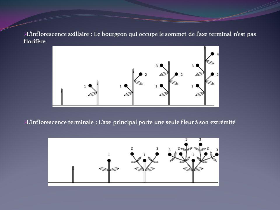 Linflorescence axillaire : Le bourgeon qui occupe le sommet de laxe terminal nest pas florifère Linflorescence terminale : Laxe principal porte une seule fleur à son extrémité
