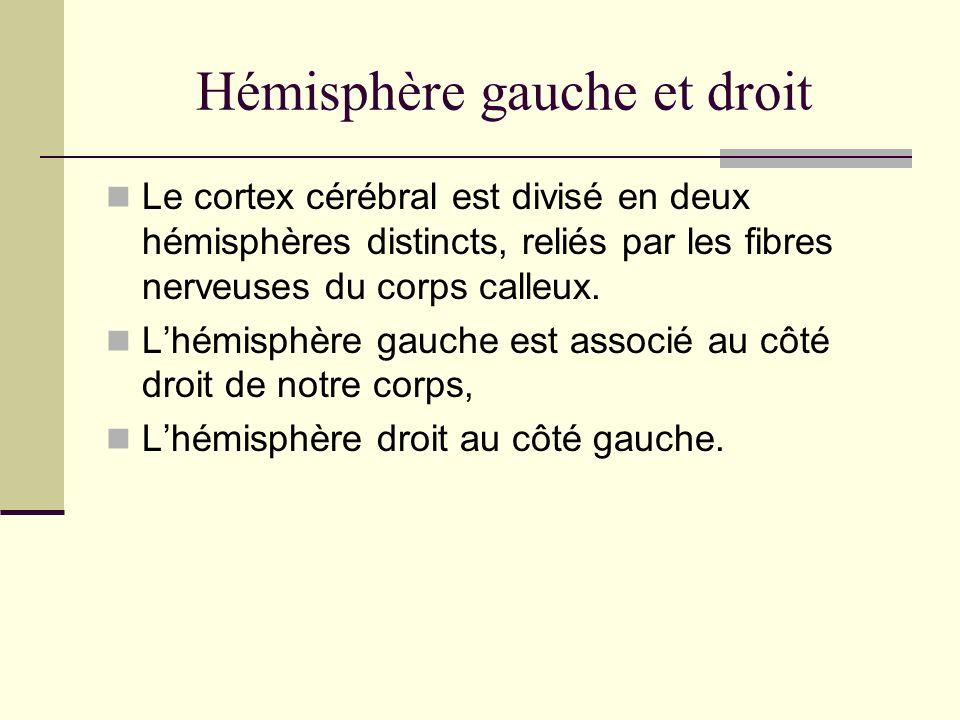 Hémisphère gauche et droit Le cortex cérébral est divisé en deux hémisphères distincts, reliés par les fibres nerveuses du corps calleux. Lhémisphère