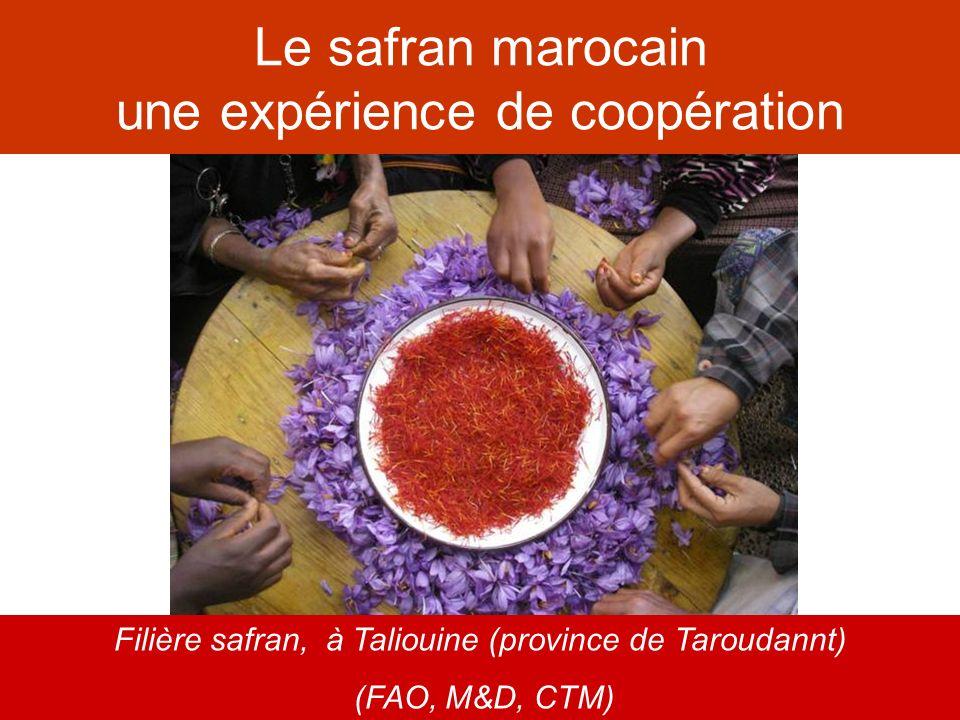 Le safran marocain une expérience de coopération Filière safran, à Taliouine (province de Taroudannt) (FAO, M&D, CTM)