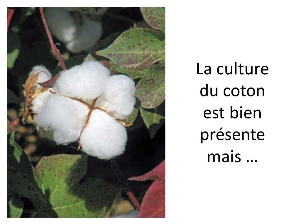 La culture du coton est bien présente mais …