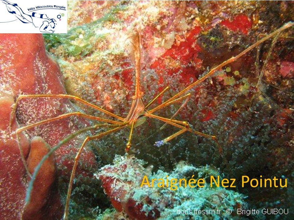 Araignée Nez Pointu