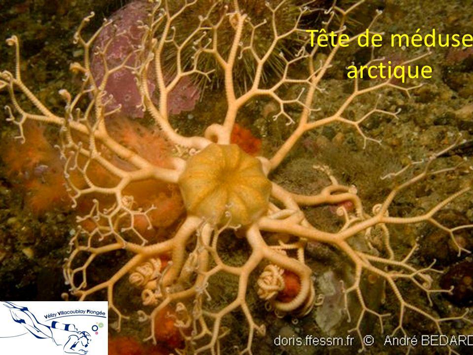 Tête de méduse arctique