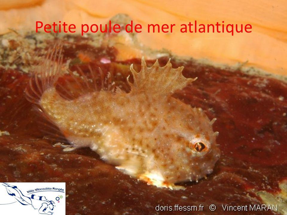 Petite poule de mer atlantique