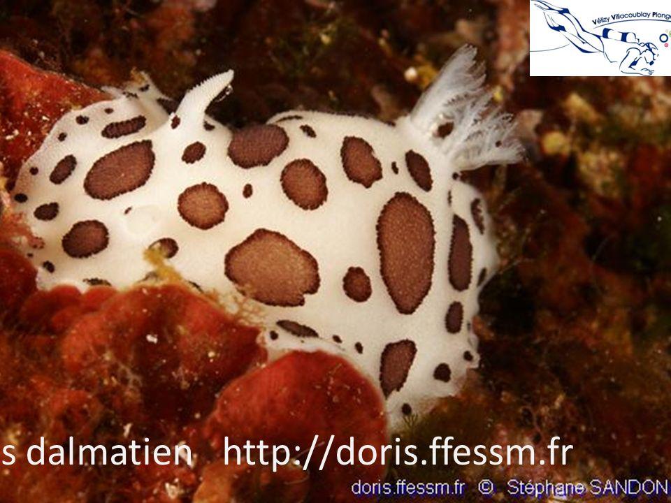 Doris dalmatien http://doris.ffessm.fr