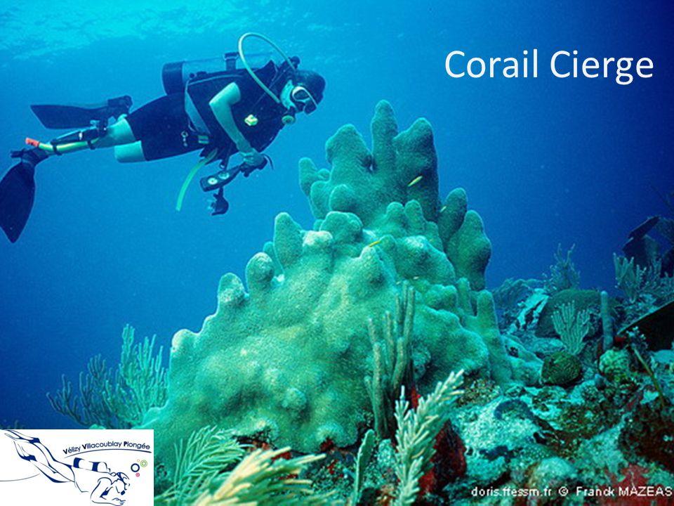 Corail Cierge