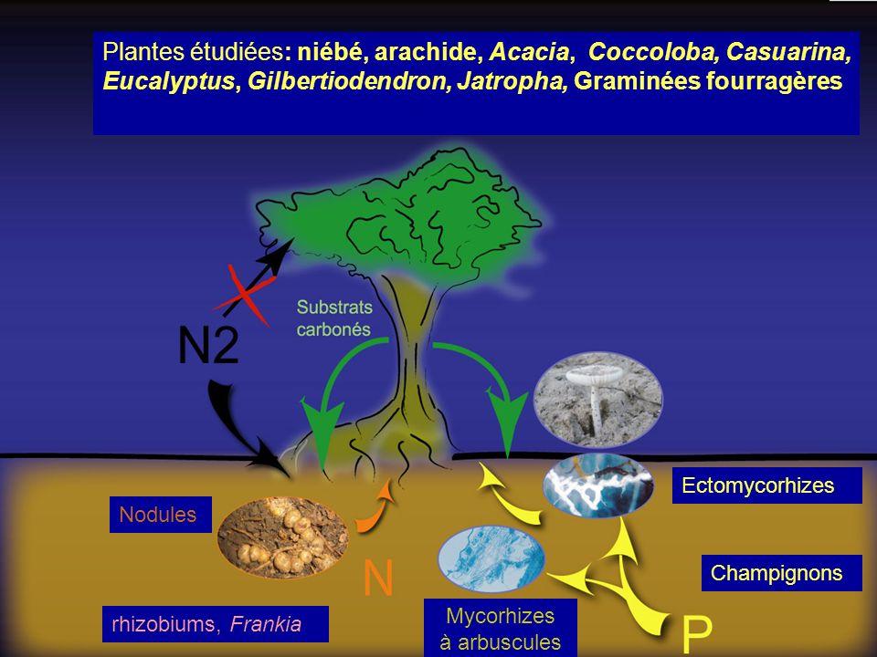 Ectomycorhizes Nodules Mycorhizes à arbuscules Plantes étudiées: niébé, arachide, Acacia, Coccoloba, Casuarina, Eucalyptus, Gilbertiodendron, Jatropha