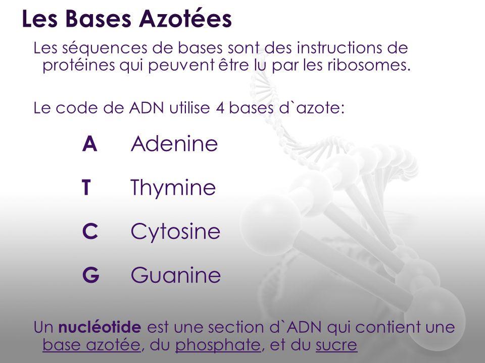 Les séquences de bases sont des instructions de protéines qui peuvent être lu par les ribosomes. Le code de ADN utilise 4 bases d`azote: A Adenine T T