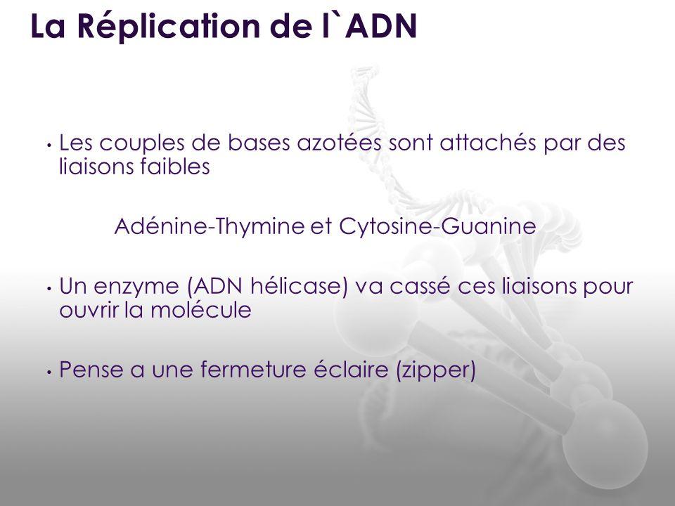 Les couples de bases azotées sont attachés par des liaisons faibles Adénine-Thymine et Cytosine-Guanine Un enzyme (ADN hélicase) va cassé ces liaisons