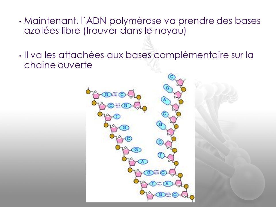 Maintenant, l`ADN polymérase va prendre des bases azotées libre (trouver dans le noyau) Il va les attachées aux bases complémentaire sur la chaine ouv