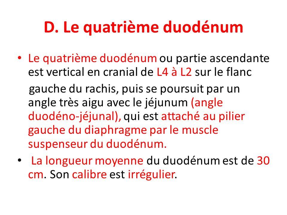 D. Le quatrième duodénum Le quatrième duodénum ou partie ascendante est vertical en cranial de L4 à L2 sur le flanc gauche du rachis, puis se poursuit