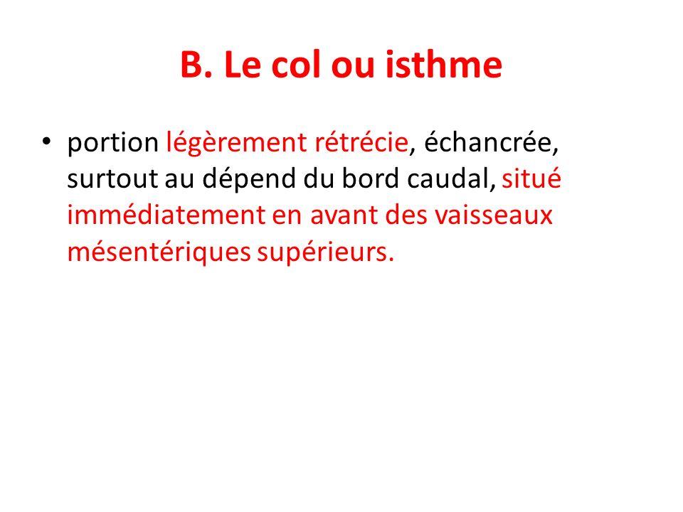 B. Le col ou isthme portion légèrement rétrécie, échancrée, surtout au dépend du bord caudal, situé immédiatement en avant des vaisseaux mésentériques