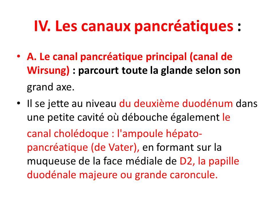 IV. Les canaux pancréatiques : A. Le canal pancréatique principal (canal de Wirsung) : parcourt toute la glande selon son grand axe. Il se jette au ni
