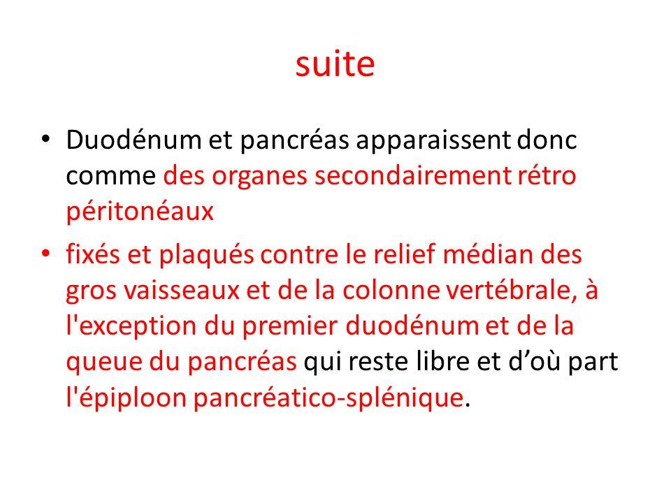 suite Duodénum et pancréas apparaissent donc comme des organes secondairement rétro péritonéaux fixés et plaqués contre le relief médian des gros vais