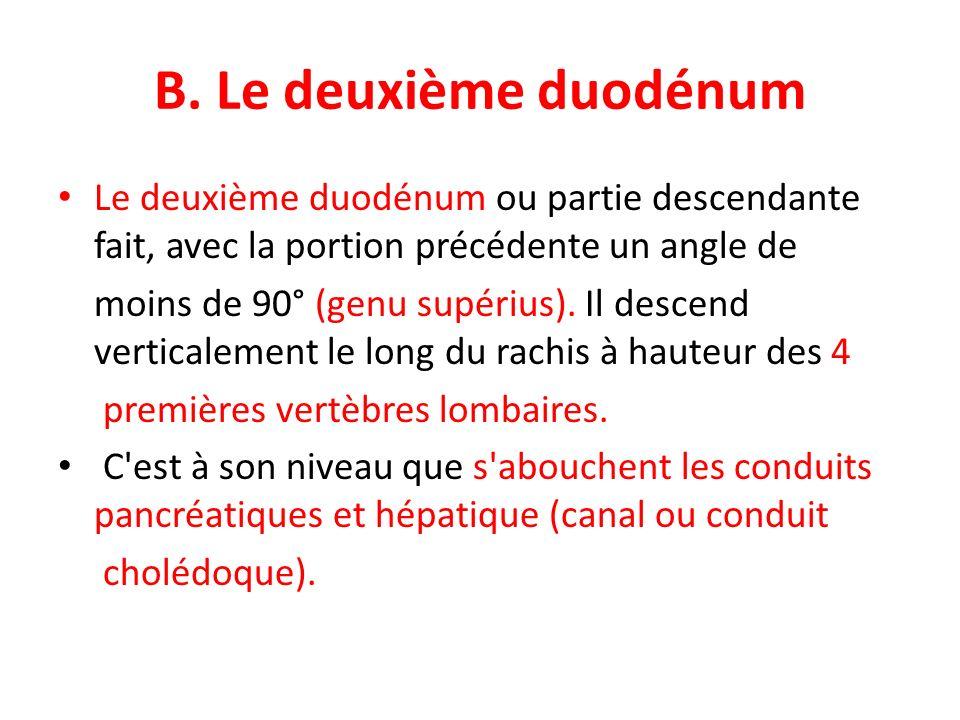 B. Le deuxième duodénum Le deuxième duodénum ou partie descendante fait, avec la portion précédente un angle de moins de 90° (genu supérius). Il desce